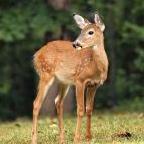 brown.deer