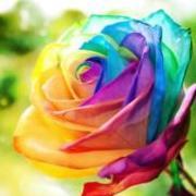 RainbowRose